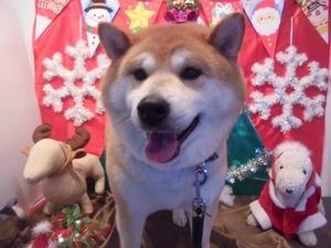 柴犬の小次郎くんです♪ちょっぴり甘えん坊な男の子